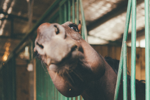 Stable vices in horses
